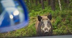 Pavojingas metas keliuose: specialistai įspėja, kur ir kada didžiausia rizika sutikti laukinius žvėris