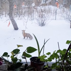 Lietuvoje lapė šoko į medį paukščiams paliktų lašinių – dabar joms sunkiau rasti maisto