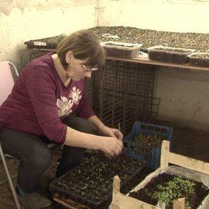 Lietuviai ruošiasi pavasariui: sėklas daigina ne tik ant palangių, bet ir rūsiuose