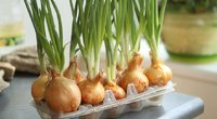 Svogūnų auginimas namuose (Nuotr. shutterstock.com)