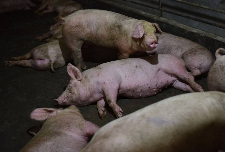 Kinai aptiko naują kiaulių gripo atmainą: perspėjo apie naujos pandemijos grėsmę (nuotr. SCANPIX)