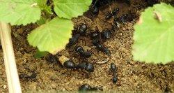 Pabarstykite cinamono savo sode: skruzdėlių neliks akimirksniu
