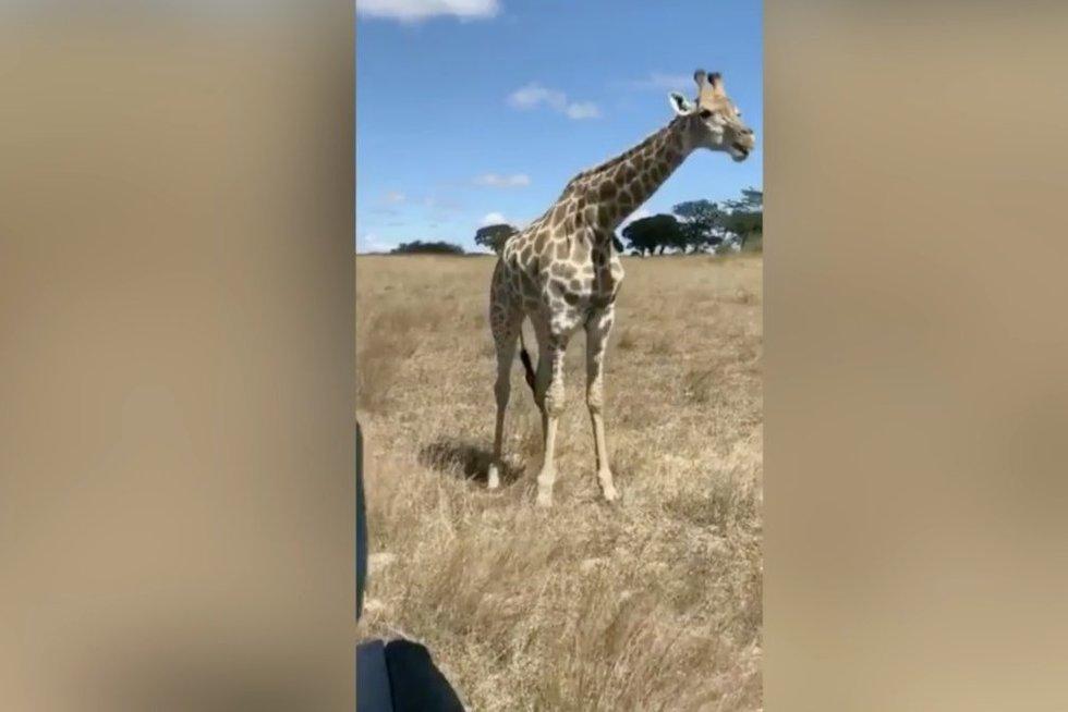 Žirafos elgesys prajuokino milijonus: nufilmavo netikėtą judesį