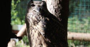 Kauno zoologjos sodas prižiūrėjęs didžiuosius apuokus su jais atsisveikina – žiūrės, kaip jiems sekasi (nuotr. stop kadras)