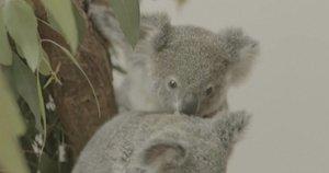 Koalos (nuotr. stop kadras)