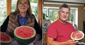 Pasvalio rajono arbūzų augintojai džiaugiasi įspūdingu derliumi: niekuo nenusileidžia atvežtiniams