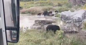 Zoologijos sodo lankytojai patyrė siaubą: jų akivaizdoje lokiai sutaršė prižiūrėtoją (nuotr. stop kadras)